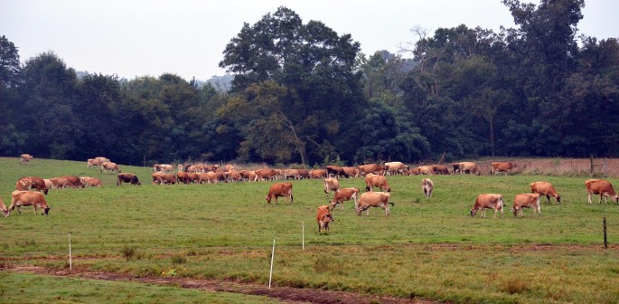 Heifers in pasture