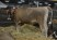 "Lot 14 - AHLEM MEDALIST JENNY 615 - Born 5/7/12, GJPI 182, GJUI +8.00 (10/13). She is Bred to ""Layne"", 11JE1122, due May 2014"