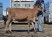 Lot 40 - ROYALTY RIDGE TEQUILAS FINEST-ET - Born 3/3/13 (Click for Video)
