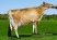 AHLEM LEGAL MINDY 35138, VG-82% Dam of Ahlem Plus Mindy 41902-ET - Selling as Lot 2