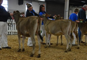 Intermediate Calf Class Winners Lot 9 - 1st - Ollie VR Mila Lot 8 - 2nd Ollie Brazo Nadine 3 Both Consigned by Curtis Lee Strange, Jr., KY