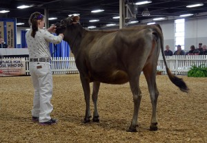 INTERMEDIATE YEARLING Lot 30 - T-way Minister Babe-ET, consigned by Shelby Rader, PA