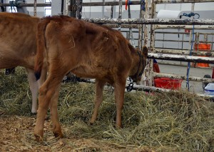 LOT 2 - BACKWOODS AMBER Born 2/1/2014 | Intermediate Calf Consigned by Backwoods Jerseys, KY