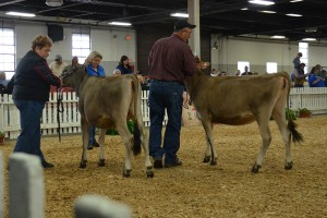 SUMMER YEARLING CLASS Lot 23 - 1st - DKG Grand Prix Patch, consigned by John and Donna Greiwe and Family, OH Lot 21 - 2nd - Gemini Ginny, consigned by Michael Rider, KY