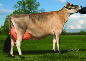 LOT 19 - EDGEBROOK SHYSTER CHELSEA, VG-88% is showing in the Central National Jersey Show on Wednesday morning. Fresh August 1, she is already a proven winner! Click here for her video!