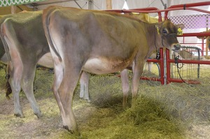 LOT 7 - TLJ TEQUILA CARAMEL-ET, Born 3/2/2014 | GJPI -59 | GJUI +5.63 Click on the picture for the video
