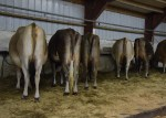 Bred Heifer Line in the Tie-up sale