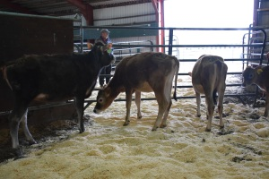 Young open heifers, to take home and develop for your herd, can be viewed by clicking on this picture...