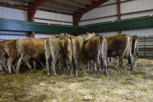 """Visuals on the 1st Trimester and """"exposed"""" heifers available by clicking on this picture..."""