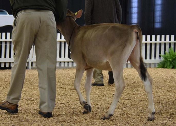 Intermediate Calf Class Winner - Lot 1