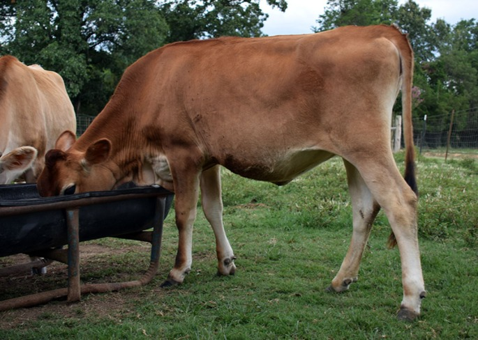 LOTS 6- 7 - 8 Mid July - September 2014 heifers from Butter Patch Jerseys, SC Click on Picture for video of all three heifers