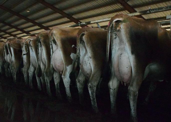 WJF Cows 2