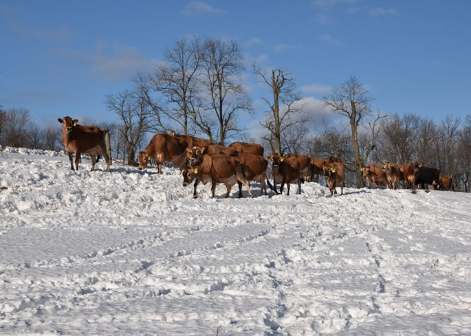 Cows on the Snow