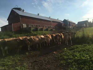 CLICK ON PICTURE FOR VIDEO OF MILK COWS COMING IN FROM PASTURE