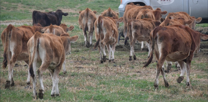 Clover Patch Cornucopia II Sale - OPEN HEIFERS
